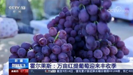 霍尔果斯:万亩红提葡萄迎来丰收季