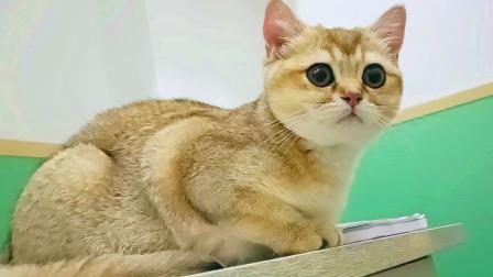 龙凤胎小猫分别千里难相见,天涯共此时,看它们同一天打疫苗啦