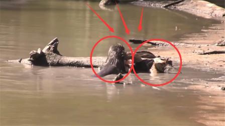 大鳄龟出门没看黄历,倒霉遇到水獭,下一秒直接被撕成碎片