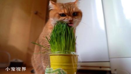 看见猫草就跑不动的大脸猫,一脸认真:这草真新鲜