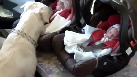 狗子第一次见到双胞胎小主人,没想到一见如故,保护欲直接爆表!