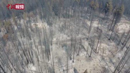 """美国加州山火持续 树林被烧成""""碳林"""""""