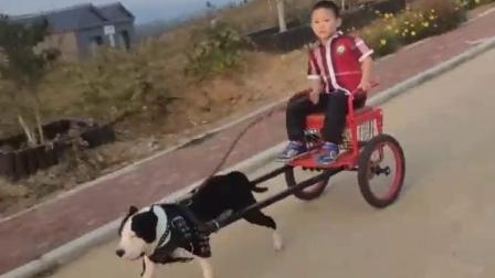 萌宠:你让狗狗拉车就算了,车上面还坐着人,不觉得心疼吗?