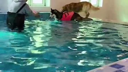 萌宠:主人训练哈士奇游泳,二哈怕水一秒进入嚎叫模式,果然是怂货
