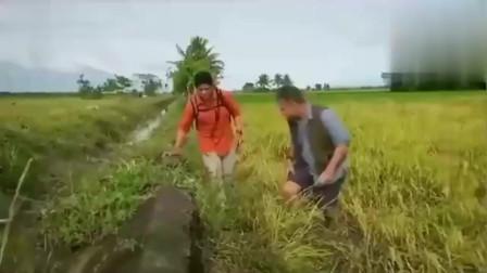 在这片区域,有36人因眼镜蛇而丧命,捕蛇专家亲自过来将其捕获