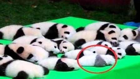 饲养员把小熊猫当白菜晒,一只熊猫亮了,这是生到一半没墨了?