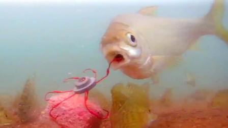 黄尾真的很难钓吗?水下高清实拍,黄尾中鱼全过程,看完就明了