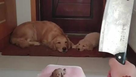 萌宠:主人正在切蛋糕,狗妈妈非但不吃,还带着小狗开门跑了