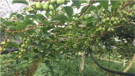 这果树我国独有,日本卖3000元一斤,网友直呼赶紧回家多种几棵