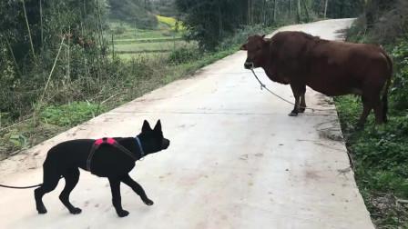 狗子第一次见牛,被牛威胁吓到腿发软,哈哈哈!