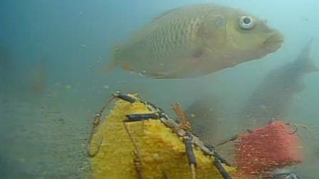 野钓鲤鱼,红糠饼好还是黄色糠饼好,用水下镜头看一看就全明白!