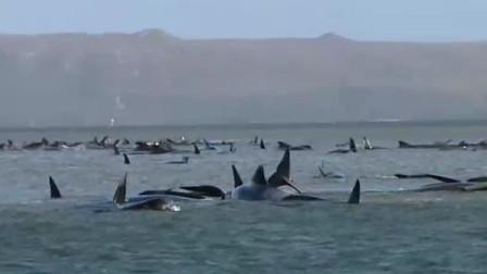触目惊心!超270头鲸鱼搁浅澳洲西海岸已死90头,原因成谜