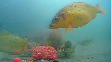 鱼钩全露出也一样能中鱼,这是什么原理,水下高清全程实拍解密