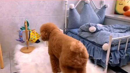 布丁已经不想多说什么了#宠物日常vlog#狗狗吃播#520喂爱挑战