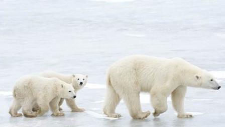 北极熊灭亡倒计时!80年后,北极将看不到北极熊