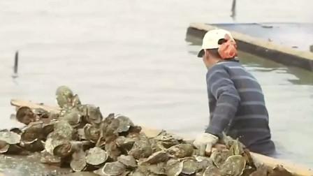 味道中国:辛苦的蚝民!为了能多采些生蚝,全天泡在冰冷的海水中