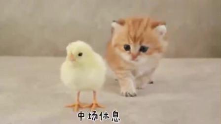 小奶猫和小鸡崽相爱相,难分胜负,橘猫:像你这样的,我一个能打八个!