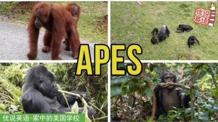 认识各种猿,大猩猩长臂猿,看一看听一听它们都有哪些不同呢