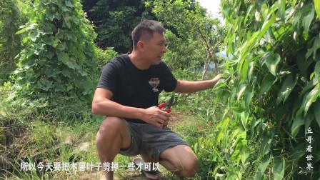 榴莲树苗种植的第154天,树苗生长缓慢,采光不足