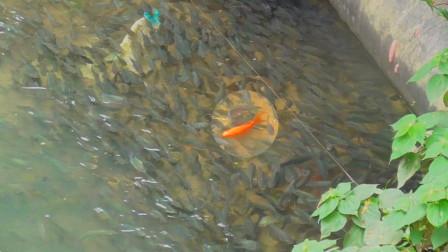水沟里是罗非鱼的天下,却也发现了几条锦鲤