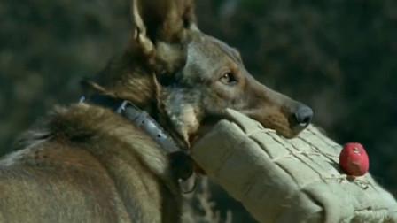 训练有素的犬王聪明勇敢,叼着炸药包一举炸毁鬼子军车