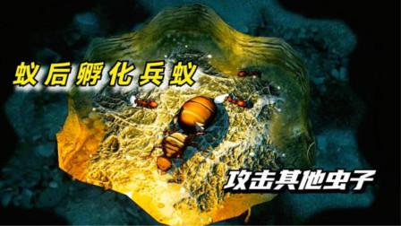 蚂蚁帝国:蚁后孵化兵蚁,攻击其他虫子!