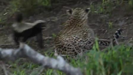 面对平头哥的一个滑铲,花豹抱头鼠窜