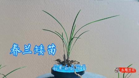 一棵春兰矮苗4苗还带花芽,下雨天不好拍,用上神器效果就是不一样
