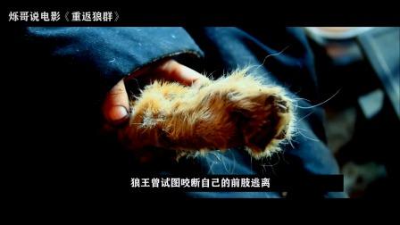 国产纪录片《重返狼群》陆川推荐 世界第一匹成功回归狼群的野狼