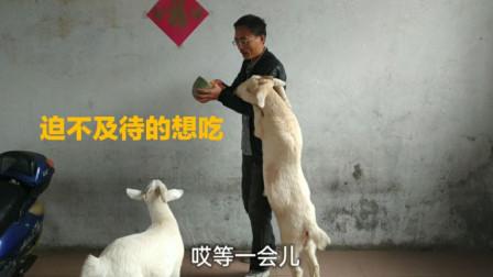 小山羊见到南瓜两眼放光,南瓜一出场,小羊冲了上去