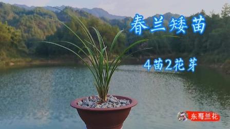 春兰矮苗4苗带2花芽,株型好叶片飘逸,就是不知道哪位老铁有缘了