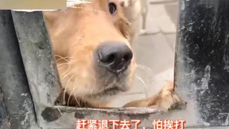 屠狗场:被卖到屠宰场的金毛,在悲伤哽咽在等待帮助,我决定不能放弃它们