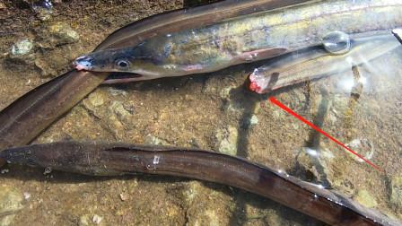 """海底""""恶龙""""闯入鳗窝一通乱咬,四条大鳗被咬得断头断尾,太猛了"""