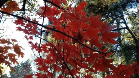 吉林:金秋霜叶火样红 红透的枫叶又一年