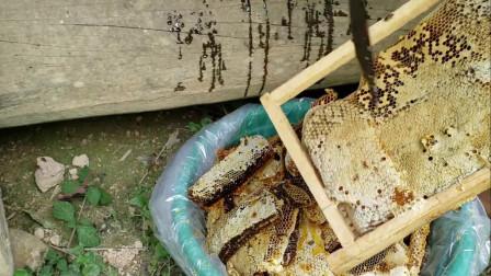 秋天第一份蜜是这样取,你的蜂现在如何呢?在评论区见哦