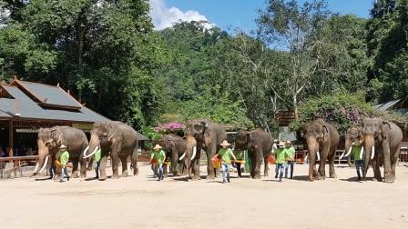 西双版纳野象谷大象表演