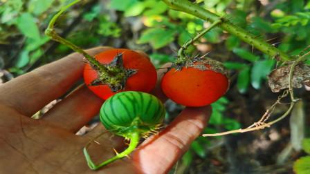 """""""牛茄子""""植物长这样?果实有毒别误食,一起认识与了解下"""
