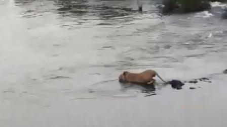 狮子过河遭鳄鱼袭击,落荒而逃