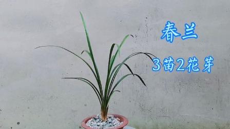 这棵春兰3苗2个花芽,2个花苞很大个,这么飘逸的兰花你不喜欢吗?