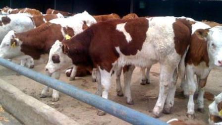 养肉牛,牛干吃不长膘是什么原因?牛吃什么长得快长得胖?
