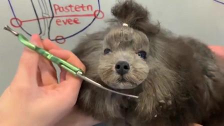 泰迪:果然,发型还是很重要的!小丑鸭变身天鹅啦!