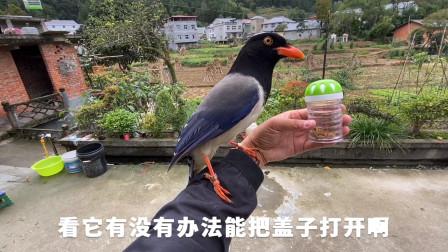 红嘴蓝鹊想吃瓶子里的食物,打不开瓶盖向主人求助