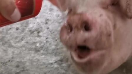 自从猪肉价格上涨以后,猪的生活质量都在提高了!