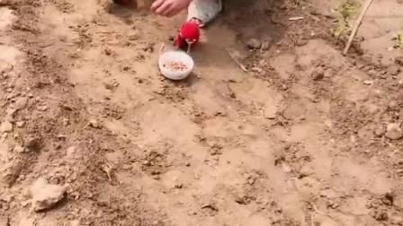 童年趣事:这样种的挺快的,,笑死我了!