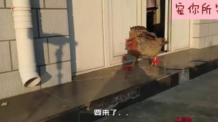 3D打印:给鸡做双滑板鞋,它居然分分钟就学会了,我还不如一只鸡