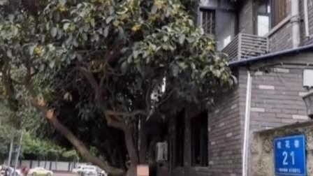 痛心!成都300年桂花巷桂花树全被砍光!