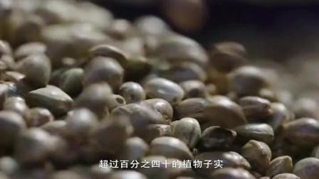 舌尖上的中国:超过一百年的历史,东莞传统饮品火麻仁茶!