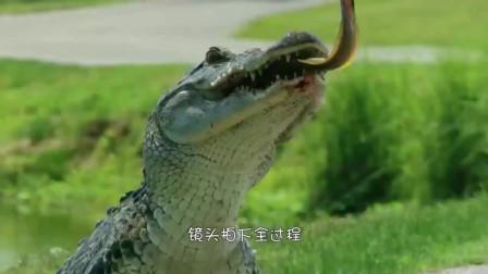鳄鱼马路上捕食电鳗,一口咬住电鳗要害,镜头拍下全过程