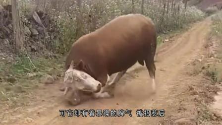 愤怒公牛对着红色铁门就是一股脑的撞,下秒怀疑牛生了