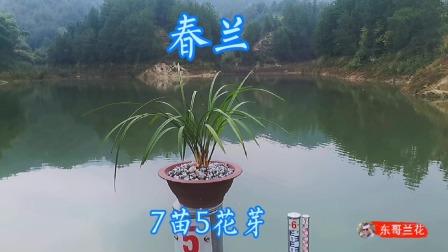 春兰7苗5个花芽,株型偏矮叶型飘逸,这么好的兰花就没有看中吗?